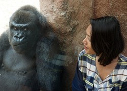 Zoo visitor at the gorilla enclosure. A woman looks at facial expressions gorillas behind glass. Funny gorilla watching the girl in Zoo.