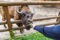 Zoo visitor feeds buffalo green, zoo, Kyiv, Ukraine