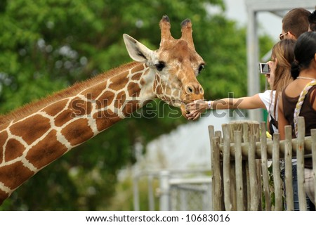 Zoo visitors feeding a giraffe from a raised platform.