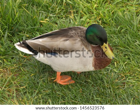Zoological image of male duck showing duck male green. The male duck is a duck.