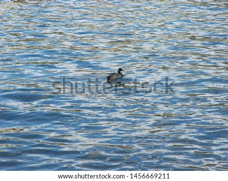 Zoological image of male duck showing duck male water. The male duck is a duck.