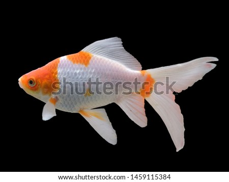 Zoological image of red fish showing fish red white. The red fish is a fish.