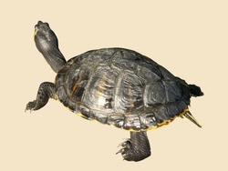 Zoological image of turtle showing tortoise water shield. The turtle is a reptile.