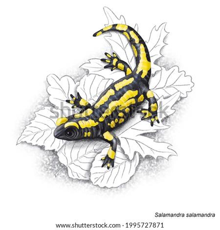 Zoology. The amphibians. Zoology. The amphibians. Zoology. The amphibians. Urodela. Salamandra on his environment. ストックフォト ©