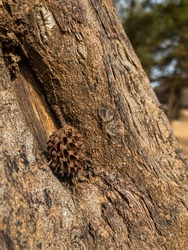 Zoom on a small pine cone in the small hollow of a conifer trunk
