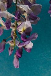 zoom sur Fleurs de glycine sur fond bleu