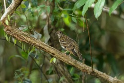 Zoothera dauma (Scaly Thrush) in the forest.