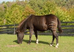 Zorse Equus Zebra x Equus Caballus