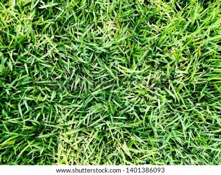 Zoysia matrella Merrill or Manila Grass or Temple Grass or Bangkok Grass #1401386093