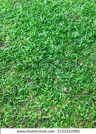 Zoysia matrella Merrill or Manila Grass or Temple Grass or Bangkok Grass #1533262880