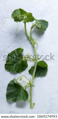 Zucchini Leaves from Sicily, Called 'Tenerumi' – Local Variety 'Zucchina da Pergola' a.k.a. 'Zucca Serpente di Sicilia' (Lagenaria longissima) – Traditional Italian Vegetable on Marble Background Stock fotó ©