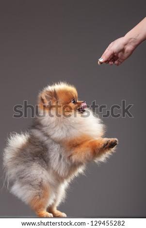 Zverg Spitz, Pomeranian puppy, eight months old