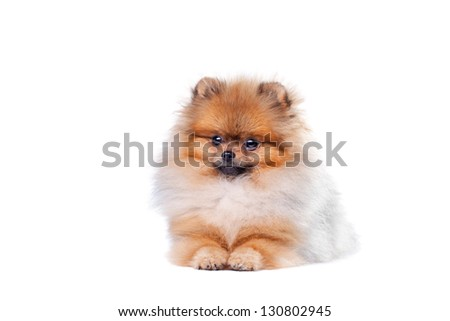 Zverg Spitz, Pomeranian puppy, eight months old