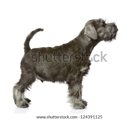 zwergschnauzer puppy standing in profile. isolated on white background