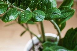 ZZ plant (Zamioculcas zamiifolia aka Zanzibar gem) plant branch with water droplets in a modern apartment.