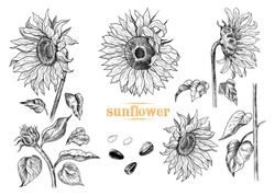A collection of sunflowers sketches .Variety of vector sunflowers, leaves, stem and sunflower seeds in vintage style.Hand-drawn vector illustration.