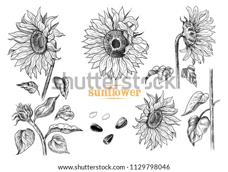 a collection of sunflowers