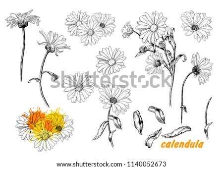 A set of sketches of calendula. A variety of flowers and leaves of calendula.