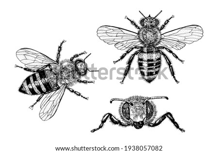 Bee and Honey. Mead and insect. Vector Engraved hand drawn Vintage old sketch for t-shirt or typography or badge. Vector illustration