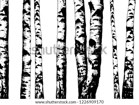 Birch trees. Vector background. Hand drawn vector illustration in sketch style.  Nature template. Photo stock ©