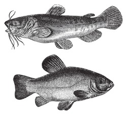 Brown bullhead (Amiurus nebulosus) above and Tench or doctor fish (Tinca vulgaris) under / vintage illustration from Meyers Konversations-Lexikon 1897