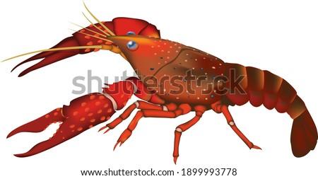 'Crawfish' (crayfish) illustration, vector EPS format ストックフォト ©