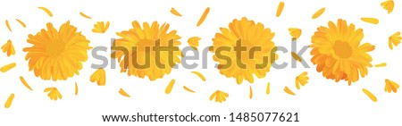3d realistic marigold flower. Calendula isolated on white background. Top view. Vector illustrator. Calendula close up