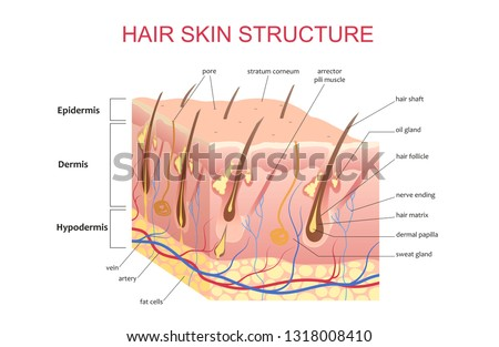 3D structure of the hair skin scalp, anatomical education infographic information poster vector illustration.