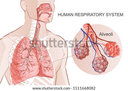 3d vector of the human Respiratory System, lungs, alveoli. Inside larynx nasal throttle anatomy. Man body parts. Hand drown anatomy illustration