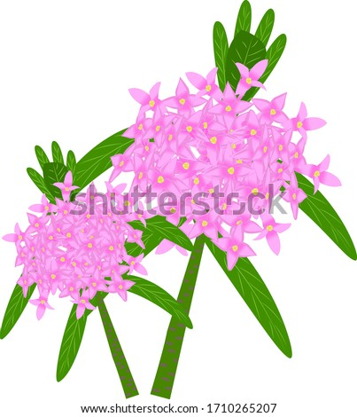 daphne plant  with pink