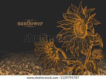 field of sunflowers and large