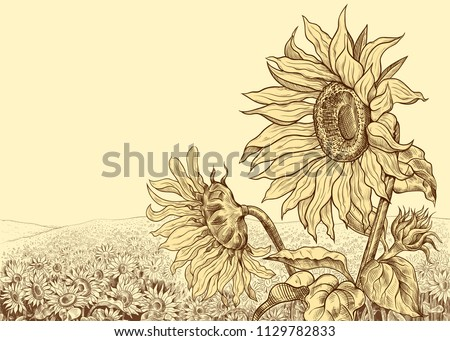 field of sunflowers with large