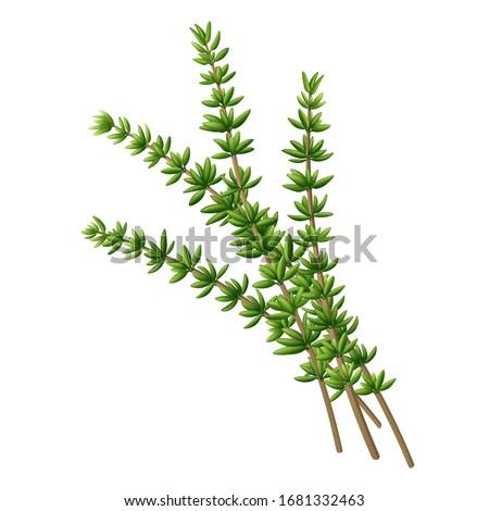 Fresh thyme branch. Vector illustration.  Stock photo ©