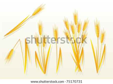 Golden wheat, vector