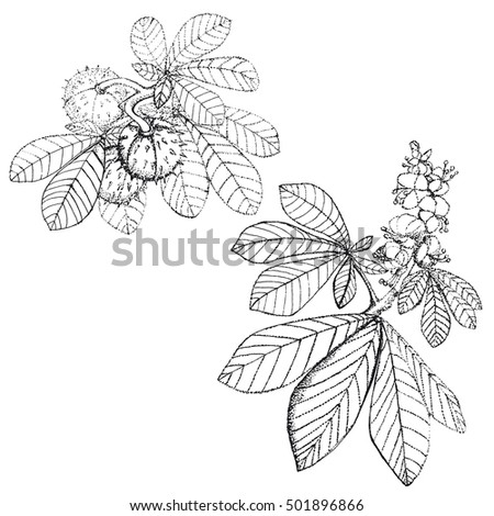 chestnut tree leaf coloring pages - photo#14