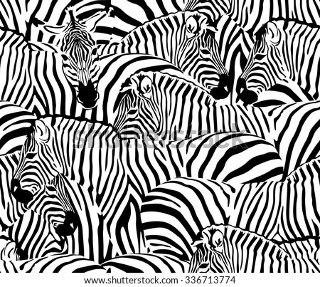 herd of zebras  animal