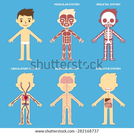 Body Anatomy For Kids The Skeleton And Muscles Nervous System And