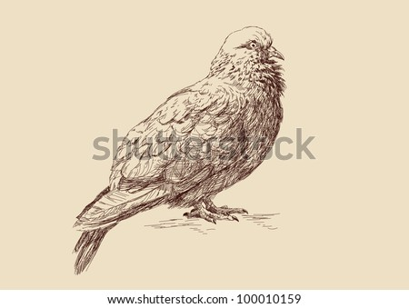 Pigeon - hand draw illustration