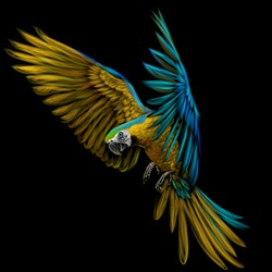 Portrait of a macaw parrot in flight. Color image of a blue-yellow macaw parrot on a black background.
