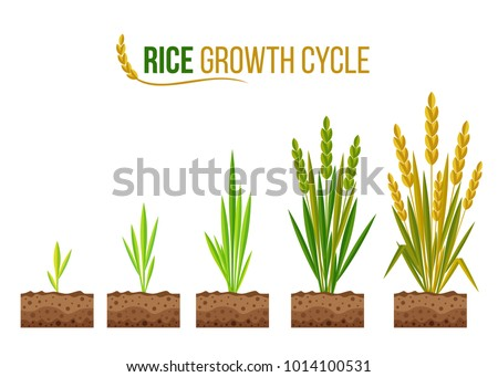rice growth cycle 5 step