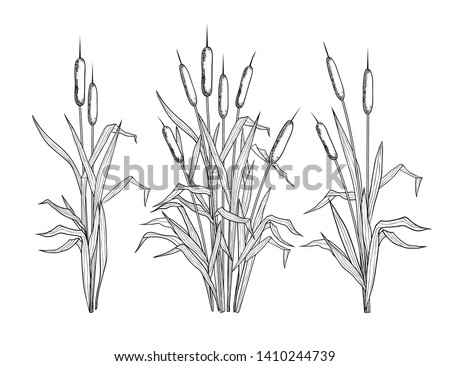 Set of various linear images of bulrush. Black and white clipart.Vector templates of various narrowleaf cattails. Illustration of nature.  Сток-фото ©