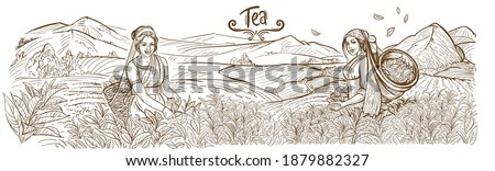 The girl collects tea leaves in a basket on a plantation in the mountains of India. Mountain landscape. Outline drawing, sketch, lines
