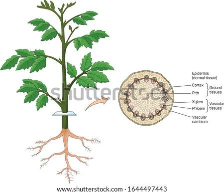 Trunk cross-section in plants vector. ストックフォト ©