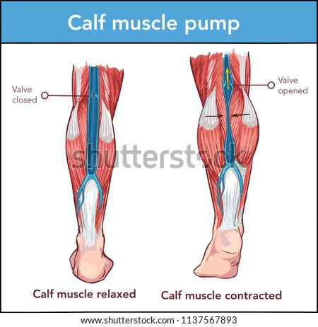 Vector İllustration of a Calf muscle pump