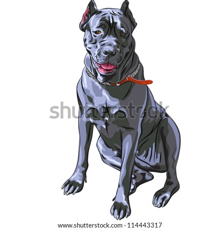 ... of the dog black Cane Corso breed, large Italian Molosser, sitting