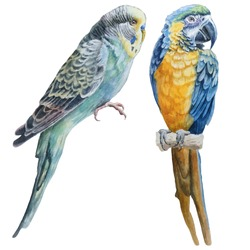 Watercolor birds.  Blue budgerigar and parrot macaw. Vector. Hand drawn.