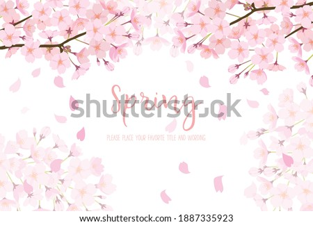 White background of cherry blossoms in full bloom