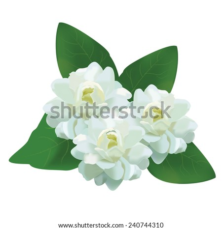 white jasmine thai flower with leaves flower