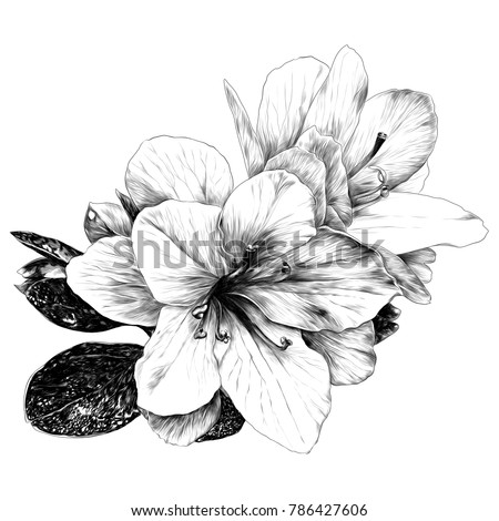 a bouquet of Azalea flowers sketch vector graphics monochrome drawing