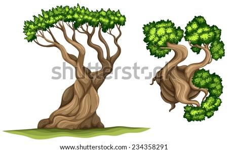 a bristlecone pine tree on a